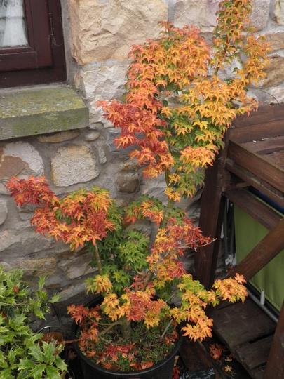 Acer shishigashira on the change (Acer palmatum (Japanese maple))
