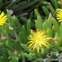 Malephora_crocea1
