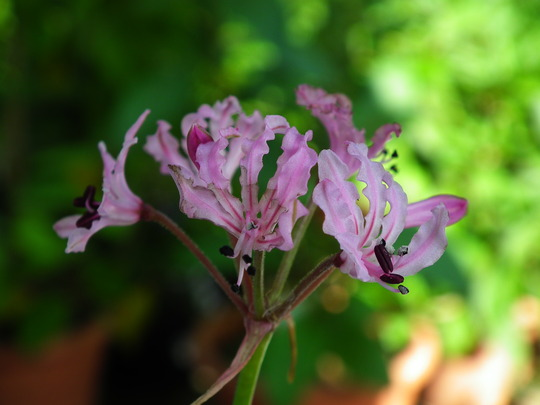 Nerine masoniorum (Nerine masoniorum)