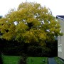 Fraxinus excelsior cv 'Jaspidea'