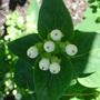 Hypericum inodorum 'Magical White'  (1) (Hypericum inodorum)