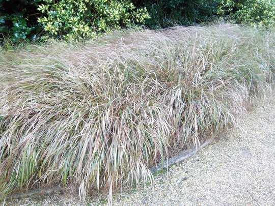 Anemanthele lessoniana (Stipa arundinacea) (Stipa arundinacea (Pheasant's tail grass), Anemanthele lessoniana)