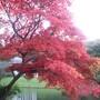 Acer palmatum Elegans (Acer palmaturm Elegans)
