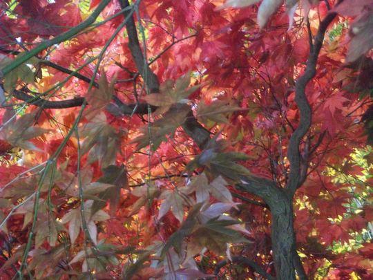 Acer palmatum Elegans (Acer palmatum Elegans)