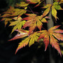 Acer &#x27;Orange Dream&#x27; in the evening. (Acer palmatum &#x27;Orange Dream&#x27;)