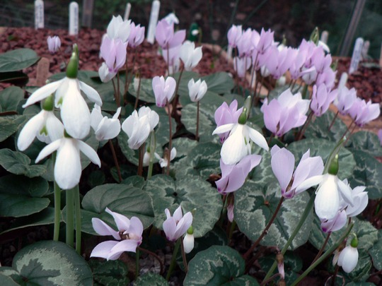 Autumn1 011 snowdrops and Cyclamen
