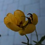Paion_flower_010