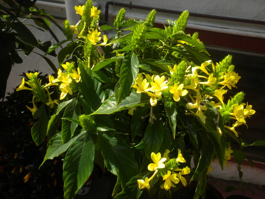 Barleria Oenotheroides Giant Yellow Shrimp Plant Grows