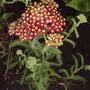 Red Yarrow (Achillea millefolium 'Paprika')