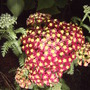 Yarrow Flowers (Achillea millefolium 'Paprika')