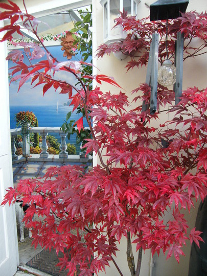 Autumn Tints.. (Acer palmatum (Japanese Maple))