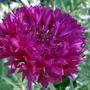 2008_07_01_008cornflower