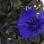 And another cornflower
