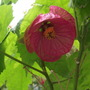 dark pink abutilon