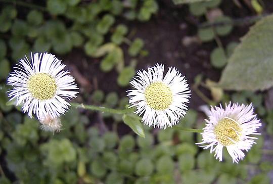 Wild asters (Erigeron annuus)