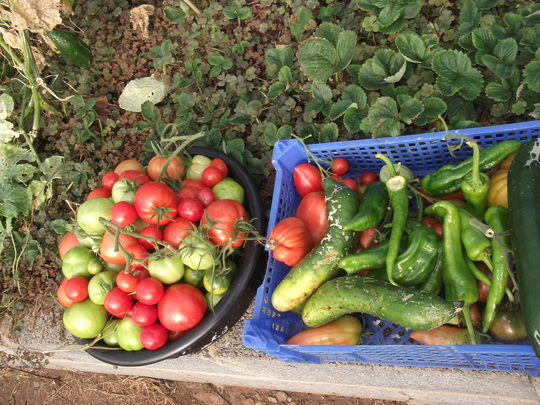 october tomates