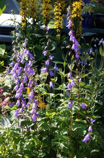 Late July, Adenophora liliifolia (Adenophora liliifolia)