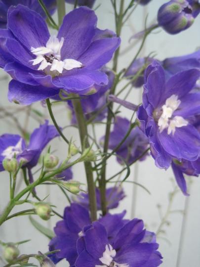delphinium in October! (Delphinium elatum (Delphinium))