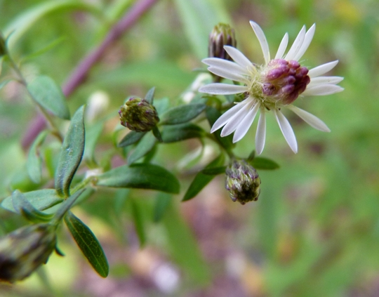 Aster 'Lady in Black' - First flower at last! (Aster lateriflorus (Lady in Black))