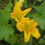 Zuchini Squash Flowers
