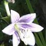 2008_07_01_003hosta_flower