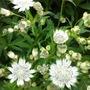 Astrantia Snow Star