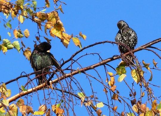 Starlings sunbathing up high, after a soaking