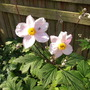 Anemone x hybrida pale pink form (Anemone x hybrida)