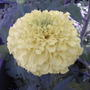 African marigold - yellow