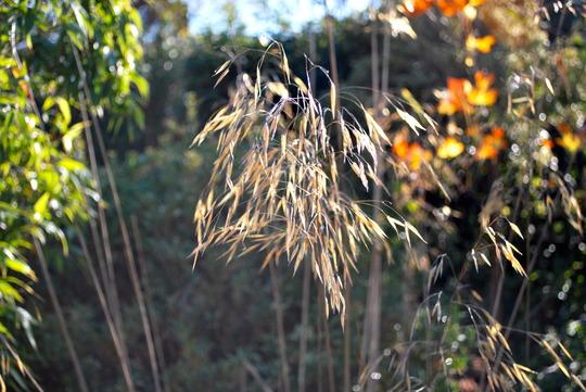 Stipa Gigantea.... (Stipa gigantea (Giant feather grass))