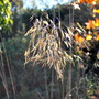 Stipa Gigantea.... (Stipa gigantea (Giant feather grass))