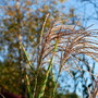 Miscanthus sinensis Zebrinas plumes..... (Miscanthus sinensis (Miscanthus) Morning Light)