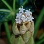 Fatsis japonica flowers...... (Fatsia japonica)