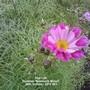 Plot 12A Cosmos 'Seashells Mixed' (Deep Pink, close up) 26-10-2012 004