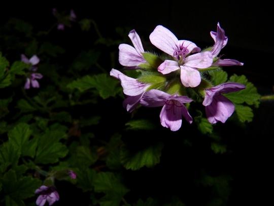 Scented Leaf Pelargonium 'Attar of Roses' (Pelargonium capitatum (Rose Scented Geranium))