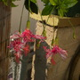 Hibiscus schizopetalus - Japanese Laterns Hibiscus