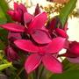 Plumeria rubra 'Hilo Beauty' Flowers (Plumeria rubra 'Hilo Beauty')