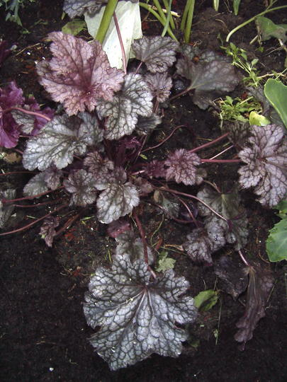 Coral Bells 'Plum Pudding' (Heuchera 'Plum Pudding')