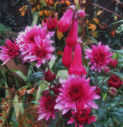 Chrysanths & Penstemon....love the colour of these...