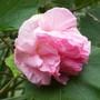 Hibiscus mutabilis (Hibiscus mutabilis)