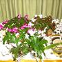 Hidden cactus (Aporophyllum)