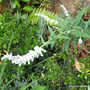 End-of-Spring Downunder -  Salvia leucantha 'White Velour' (Salvia leucantha (Mexican Bush Sage))