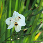 End-of-Spring Downunder -  Dietes bicolor (Dietes bicolor)