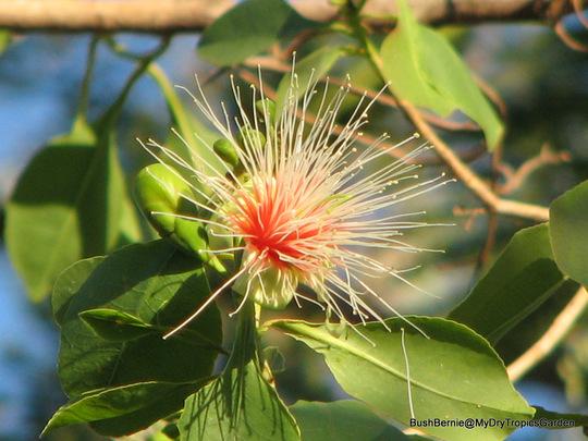 End-of-Spring Downunder -  Planchonia careya or Cocky Apple (Planchonia careya)