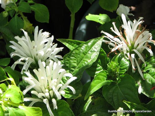 End-of-Spring Downunder -  Justicia carnea (Justicia carnea (Paradise Plant))