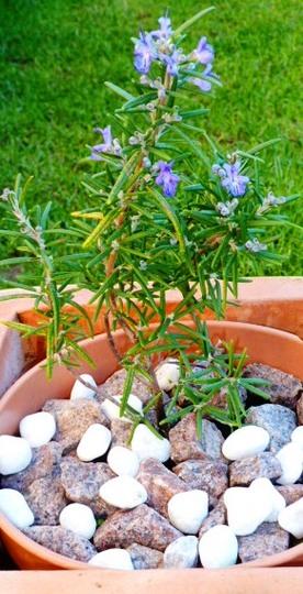 Rosmarinus officinalis   ...        BLUE LAGOON