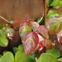 Autumn leaves... (Cornus kousa (Dogwood))