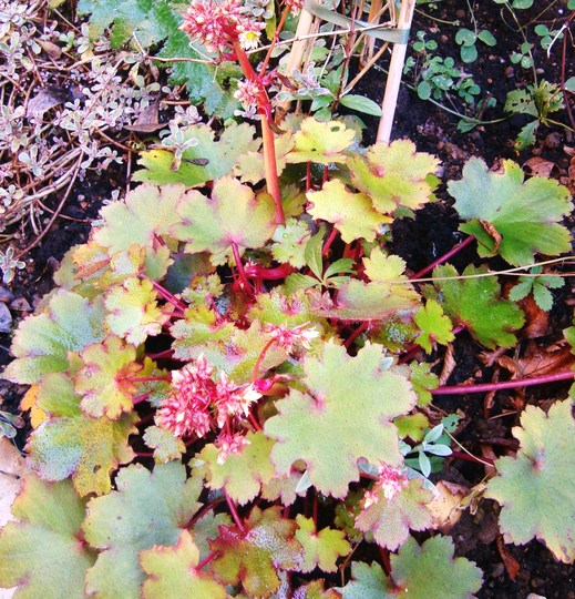 Saxifrage  Blackberry and Apple