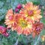 Chrysanthemum_orange_2012