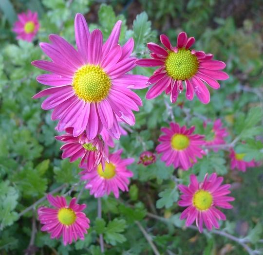 Chrysanthemum (pink) - 2012 (Chrysanthemum)
